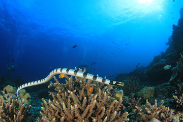 Banded Sea Snake and scuba divers