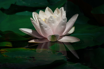 Lily with reflection in pond.