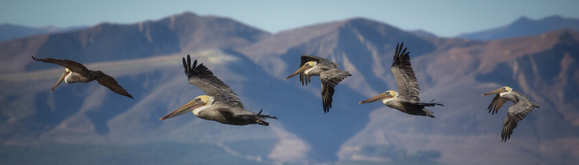 Recess Fitting Bird Pelicans in flight with mountain background