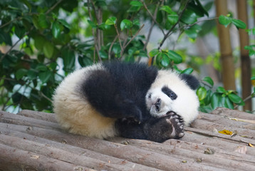 young panda sleeping outside