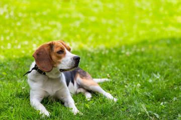 Lying on a fresh green grass dog