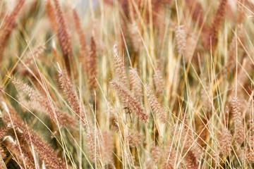 Dry fluffy grass