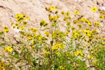 New chrysanthemum coronarium at desert
