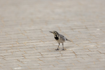 Portrait of a small gray wagtail with spotted breast