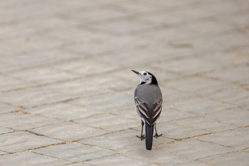 A small gray wagtail stands with its back
