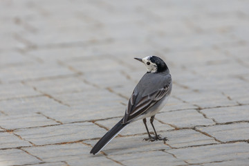 Portrait of a small gray wagtail gathered at the observer