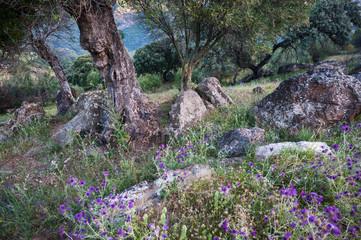 Steine und Disteln im Wald mit Korkeichen