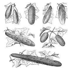 Illustration of vegetables. Cucumber