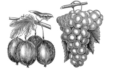 Illustration of vegetables. Grapes