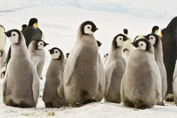 Emperor penguins(aptenodytes forsteri)with Chicks in a colony in the Davis sea,Antarctica