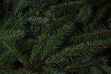 Spruce branches. Can be use how background