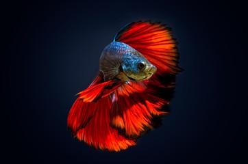 Fish bite  fighting fish Red Dark blue background