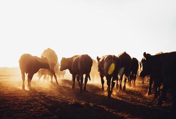 Free range cow herd grazing on open land blowing up dust