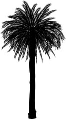 black high single palm tree isolated on white