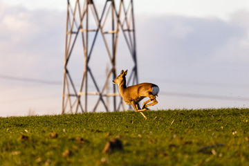 the deer on a field runs and jumps