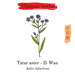 Medicinal herbs of China. Tatarinows aster
