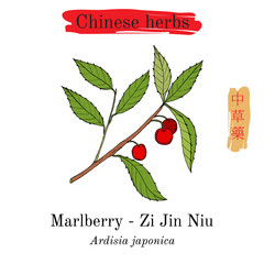Medicinal herbs of China. Marlberry Ardisia japonica