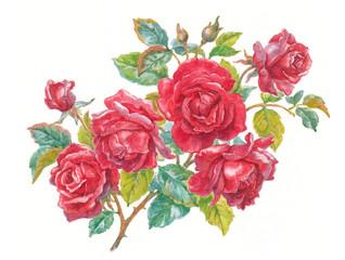 Ветка красной розы на белом фоне, акварель, живопись.
