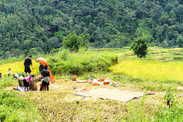 peasants being employed at the harvest of the rice in the Sapa valey in Vietnam.