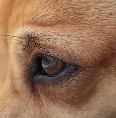 Close olho de cachorro