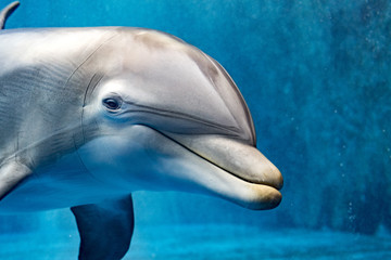 dolphin underwater looking at you