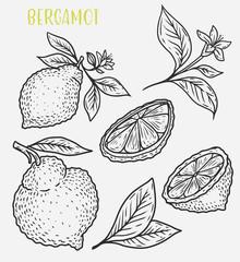 Sketch of citrus tropical lemon harvest