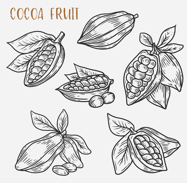 Sketches of cocoa beans on pod, cacao plant