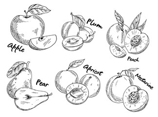 Sketch of apple and plum, pear and apricot