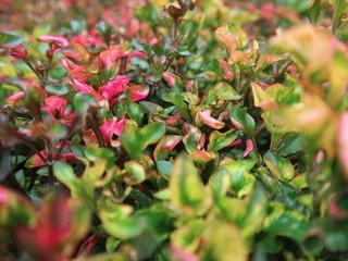 pink red roses in house garden - Gartenrosen im Hausgarten