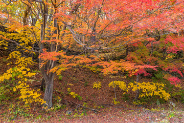 Japan, Kyoto Autumn beautiful maple tree with colorful autumn leaves