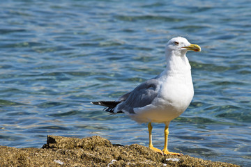 Detail of  European Herring Gull by Sea.
