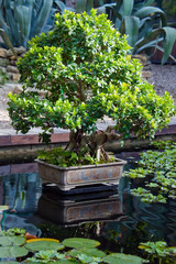 Bonsai Indian ficus (ficus indica) in garden
