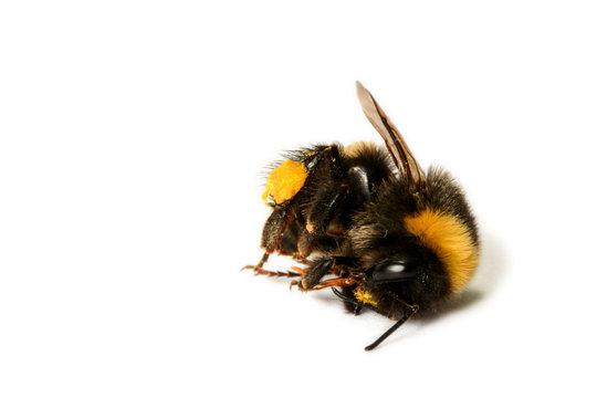 Tote Wildbiene, tote Hummel - dead bumblebee