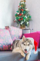 Dog Siberian Husky in Santa Claus suit