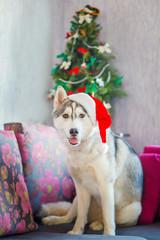 Funny dog Siberian husky