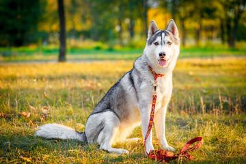 Siberian husky dog stands and looks ahead