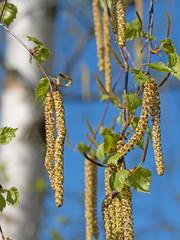 Blütenkätzchen der Birke, Betula