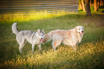 Siberian Husky and Golden Retrievers sitting park