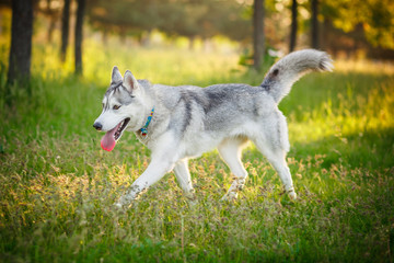 Siberian Husky walking in autumn forest