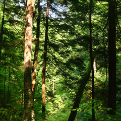 Wall Mural - Sunlit Forest Background