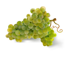 Grapes. Hand drawn vector illustration of a big bunch of grapes.Detailed realistic image on white background.