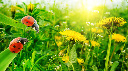 Ladybug on a background of grass and spring flowers.