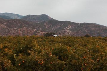 View of orange grove against mountain range
