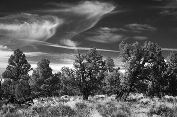 Junipers, Oregon Badlands