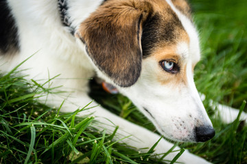Close up profile of a blue eyed mix breed dog in grass.