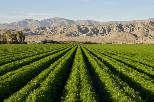 Carrot Farm in the Desert