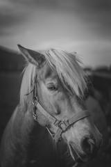 Vintage Horse Portrait