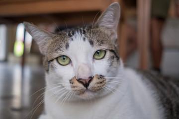 Asia,Thailand Cat  - (Selective focus)