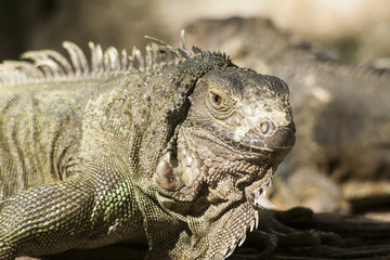 Green iguana or Common iguana / Is a species of iguana native to Central and South America