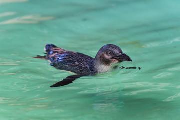 Pinguin - Freischwimmer